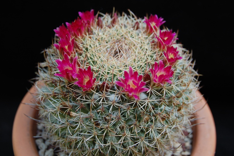 Mammillaria huajuapensis 2291-210