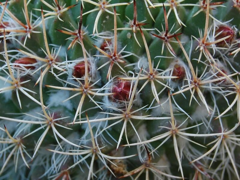 Mammillaria huajuapensis 2291-212