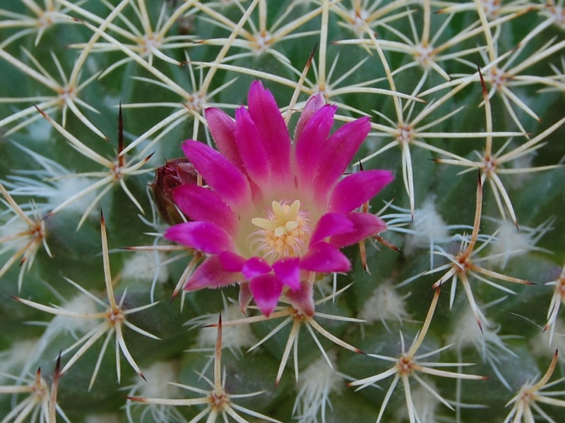 Mammillaria huajuapensis 2291-213