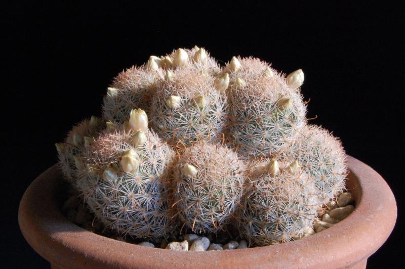 Mammillaria magallanii v. hamatispina Rog 088 2472-210