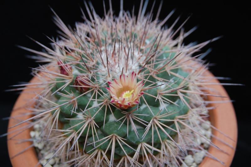 Mammillaria bellisiana 2582-211