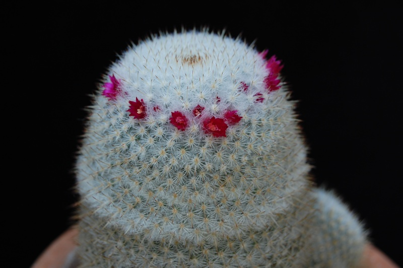 Mammillaria albilanata 30-20111