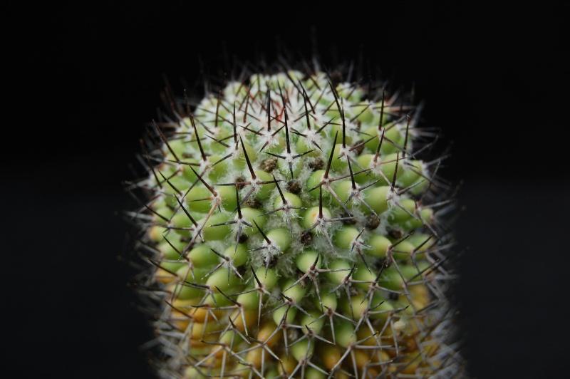 Mammillaria polythele 3033-210