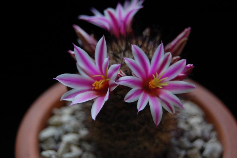 Mammillaria blossfeldiana 3070-211