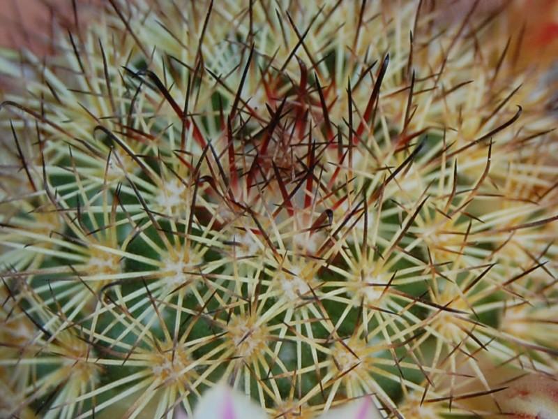"""mammillaria fraileana """"yellow"""" 3086-214"""