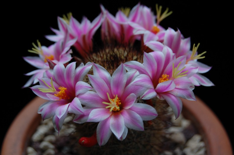 Mammillaria blossfeldiana 3086-218