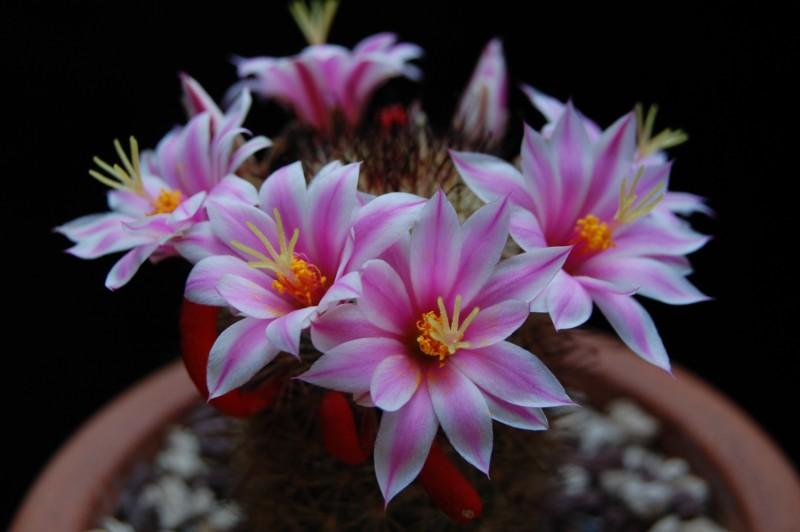 Mammillaria blossfeldiana 3086-219