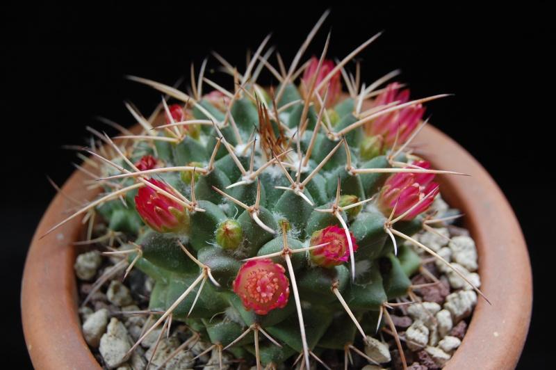 Mammillaria centricirrha 3121-210