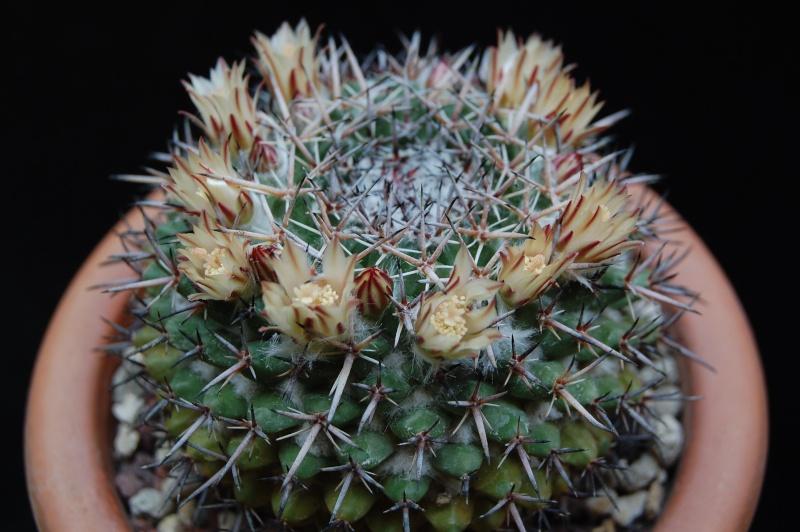 Mammillaria hastifera 3140-211