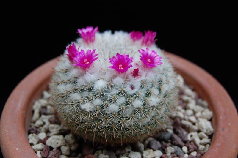 Mammillaria geminispina 3144-211