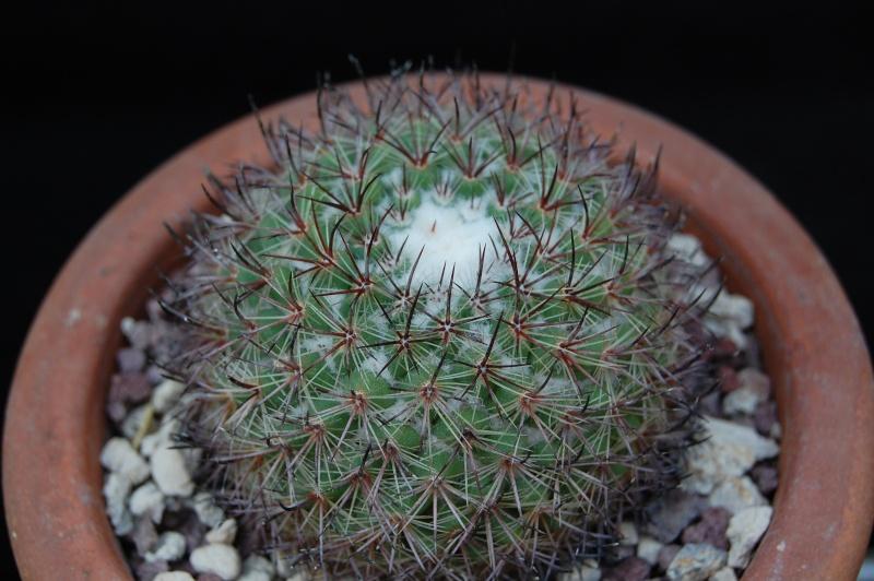 Mammillaria verticealba 3157-210