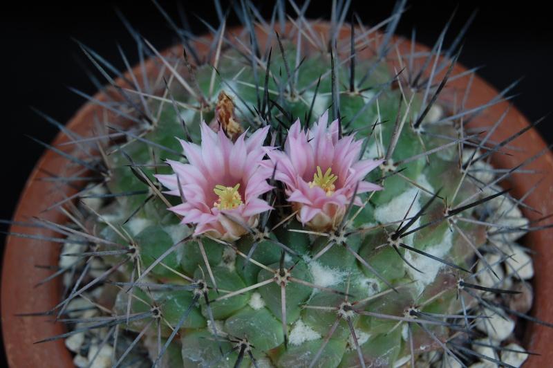 Mammillaria melanocentra 3160-210