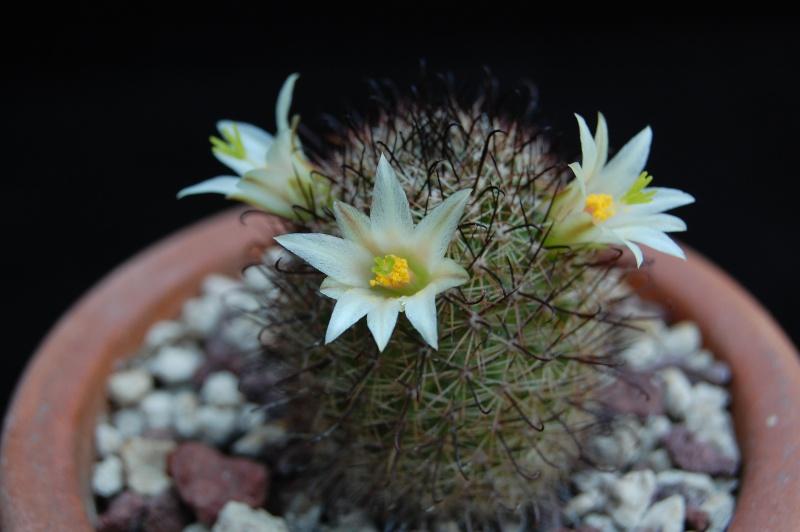 Mammillaria dioica 3242-210