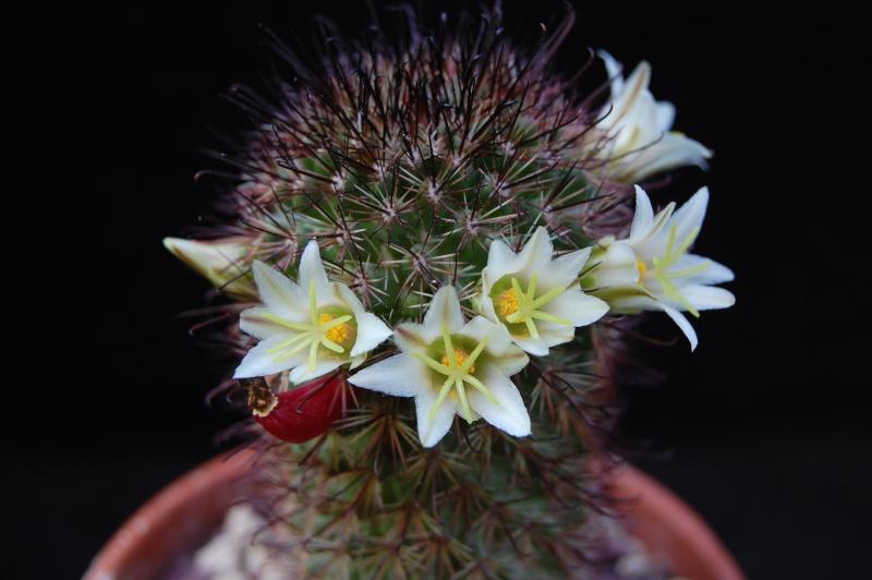 Mammillaria dioica 3243-210