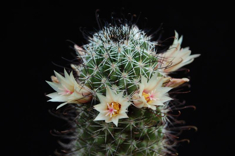 Mammillaria armillata        3261-210