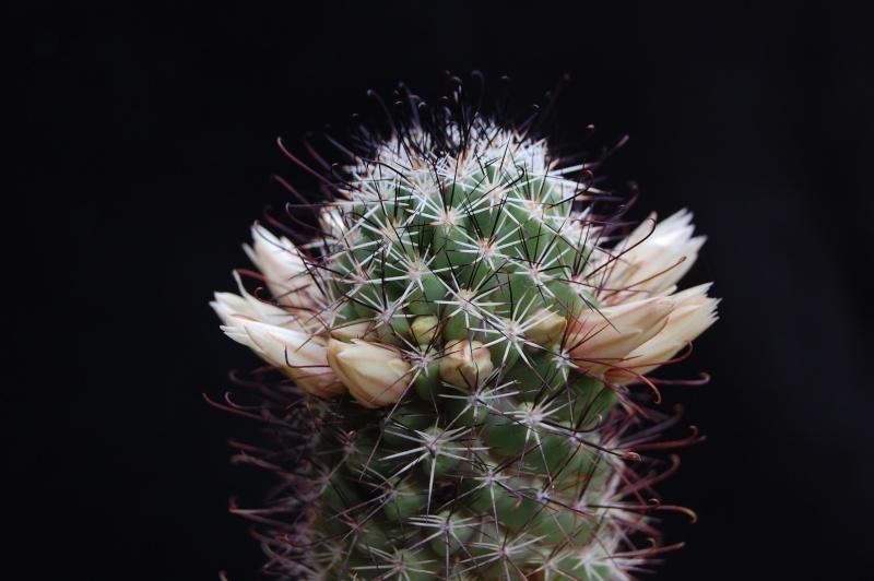 Mammillaria armillata        3261-212