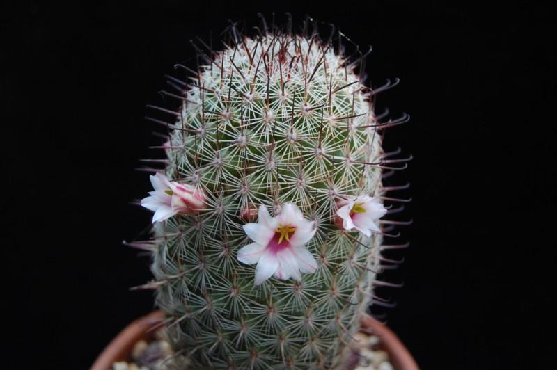 Mammillaria sheldonii fa inaiae 3285-212