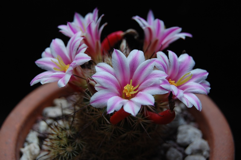 Mammillaria blossfeldiana 3385-211