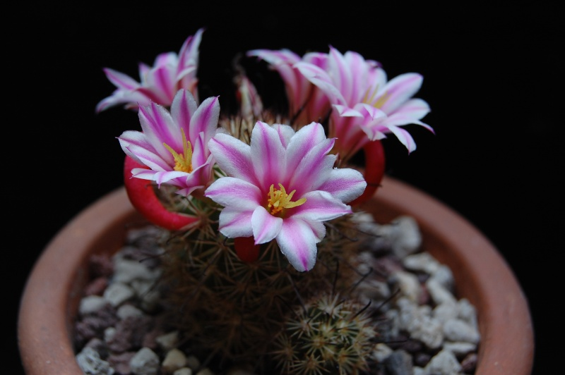 Mammillaria blossfeldiana 3385-212
