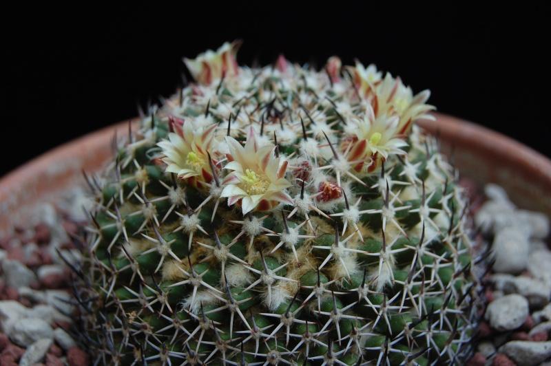 Mammillaria confusa 3447-210