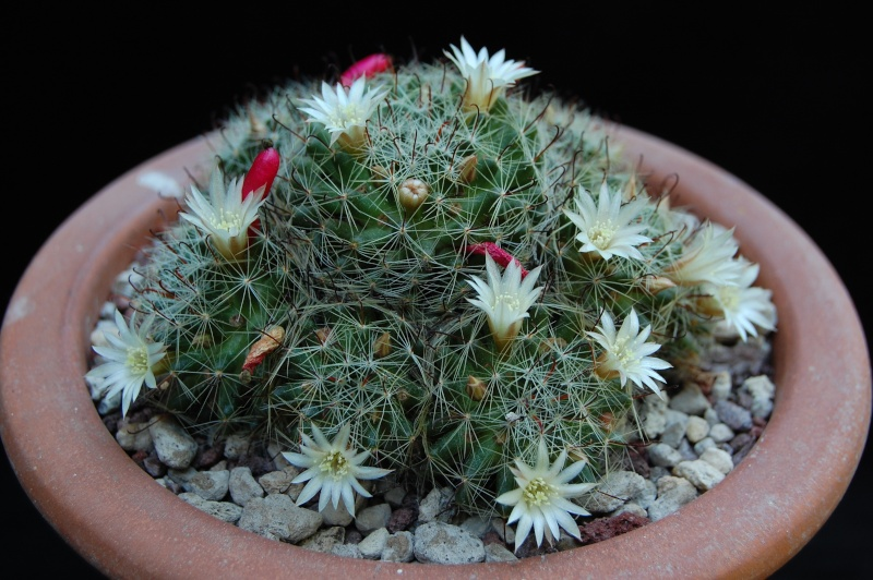 Mammillaria moeller-valdeziana 3459-210