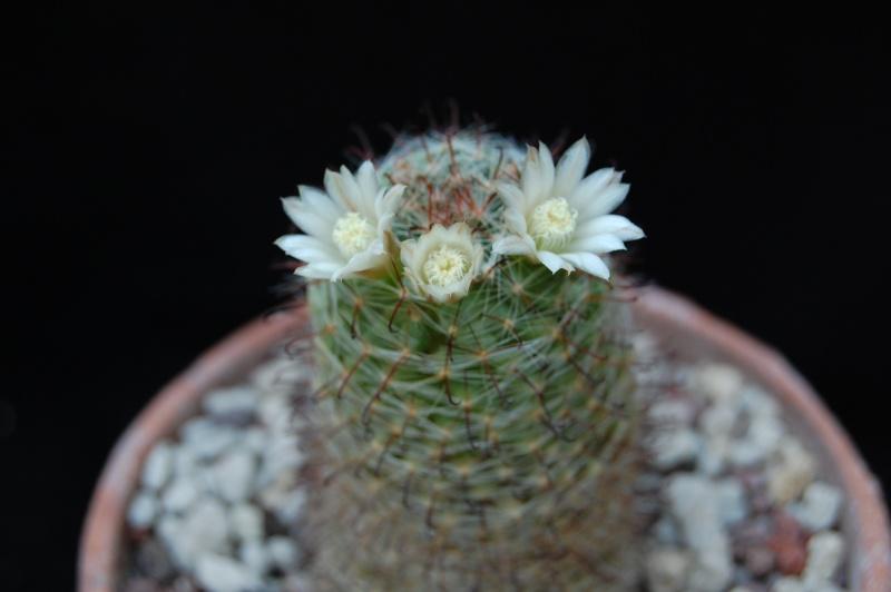 Mammillaria trichacantha 3471-210