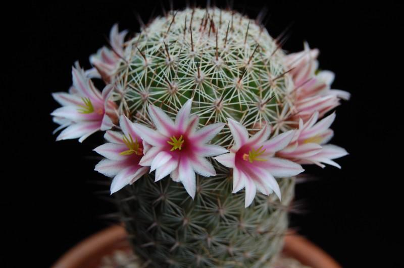 Mammillaria sheldonii fa inaiae 3694-211
