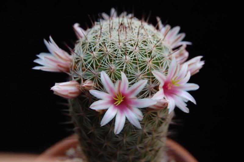 Mammillaria sheldonii fa inaiae 3694-212