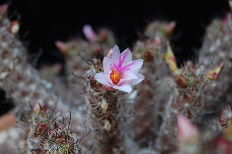 Mammillaria thornberi 3703-211
