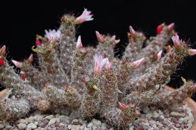 Mammillaria thornberi 3703-212