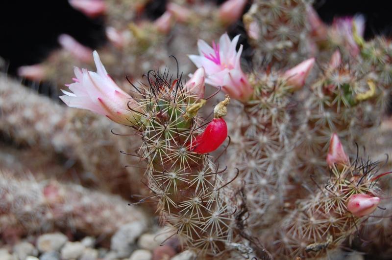 Mammillaria thornberi 3703-213
