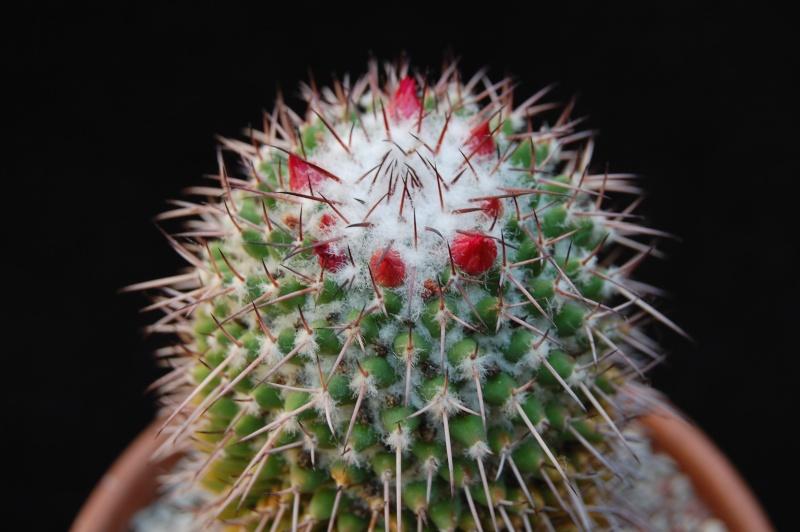 Mammillaria polythele 3713-211