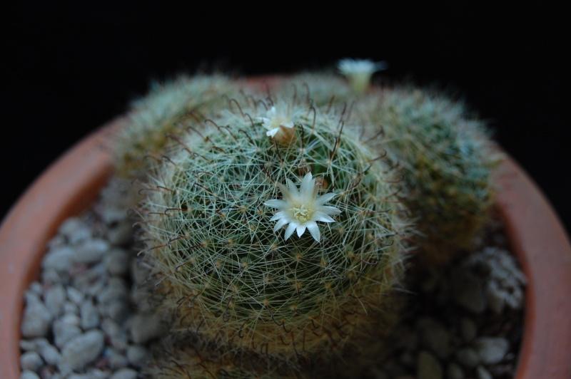 Mammillaria leucantha 3714-212