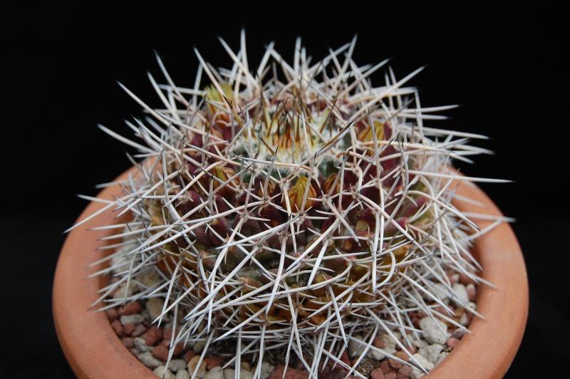 Mammillaria vagaspina 3723-213