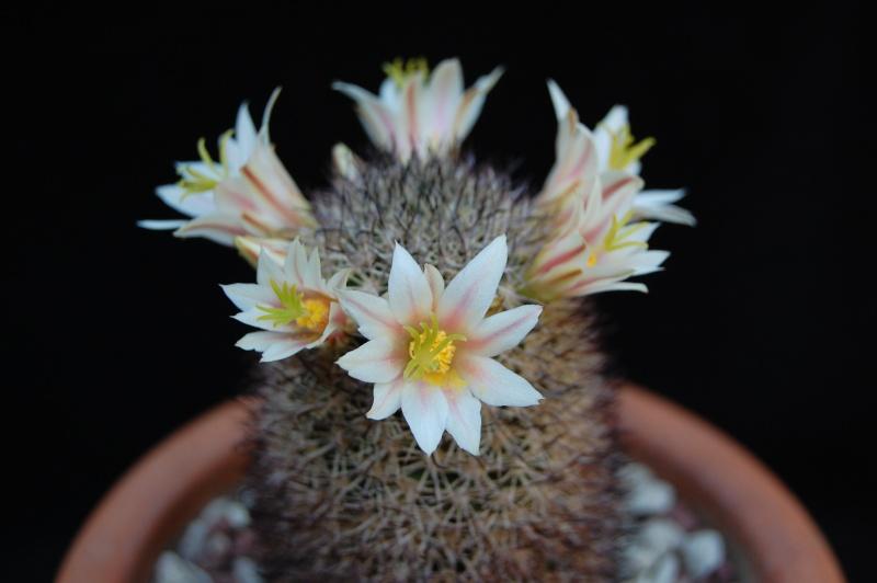Mammillaria shurliana 4007-212
