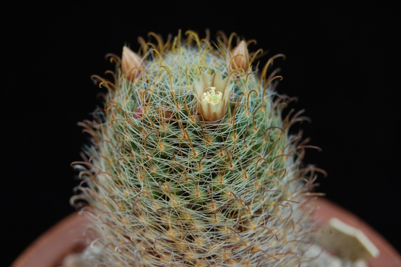 Mammillaria crinita 4056-210