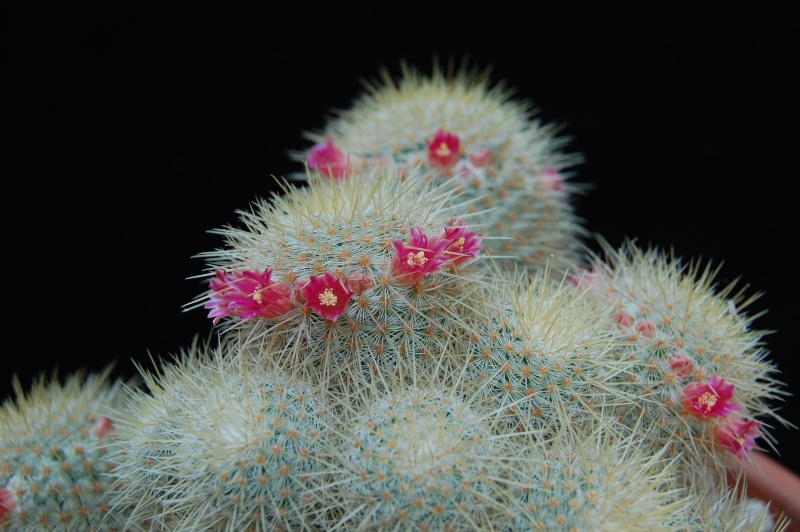 Mammillaria dixanthocentron 4063-211