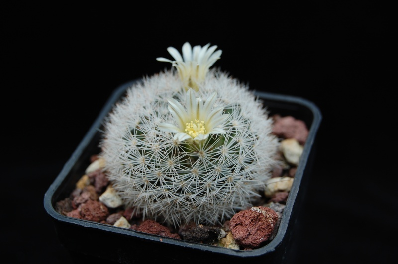 Mammillaria wohlschlageri 4087-211