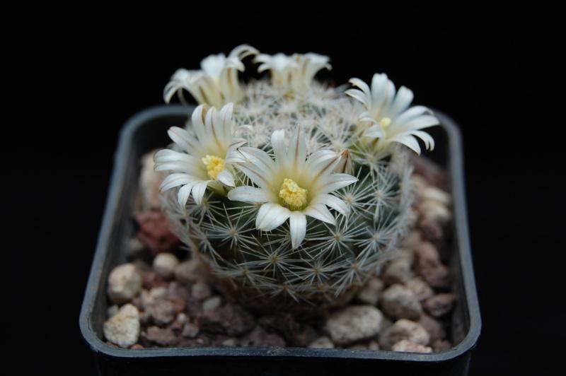 Mammillaria wohlschlageri 4101-212