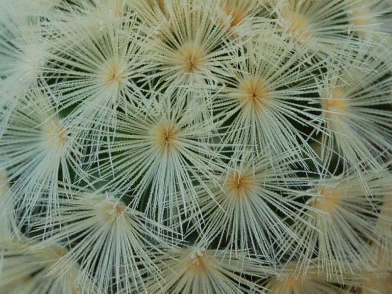 Mammillaria carmenae 4189-210