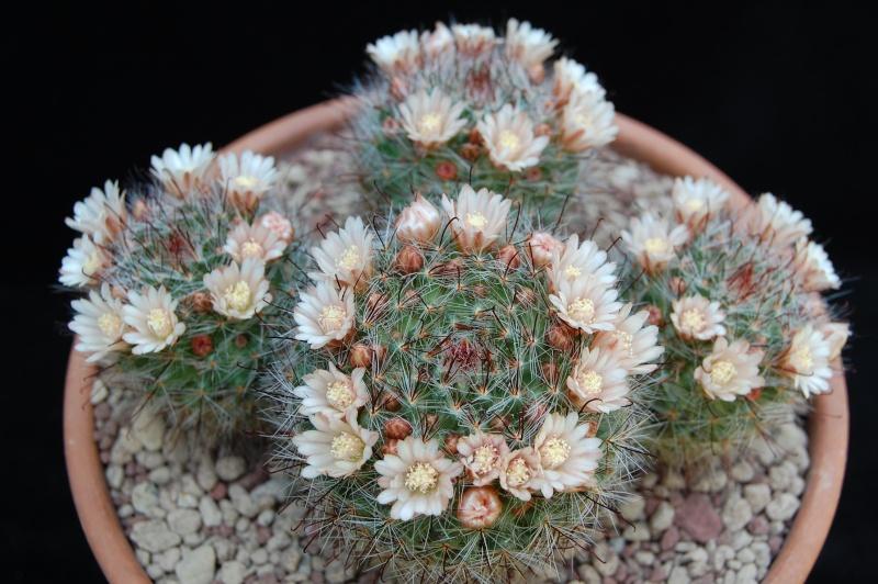 Mammillaria mathildae 4202-211