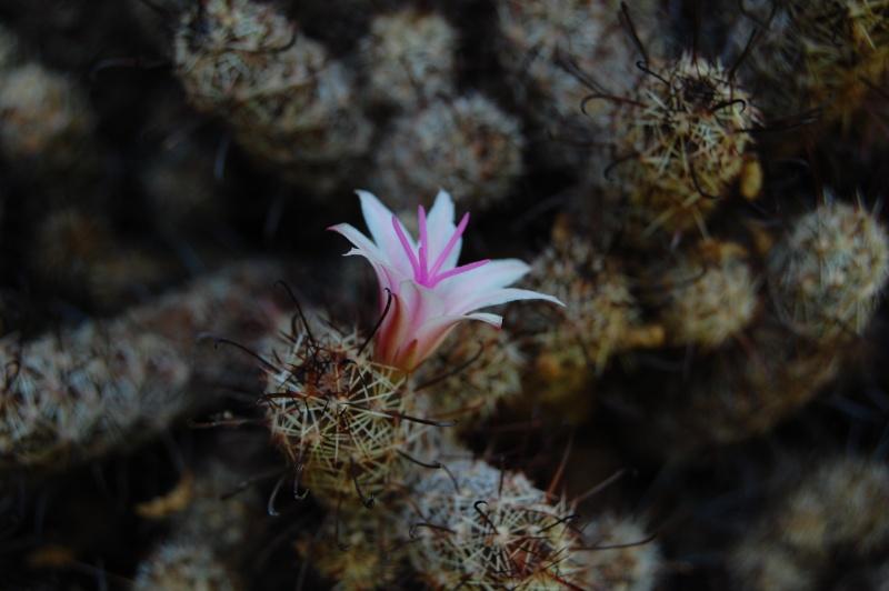 Mammillaria thornberi ssp yaquensis 4278-212
