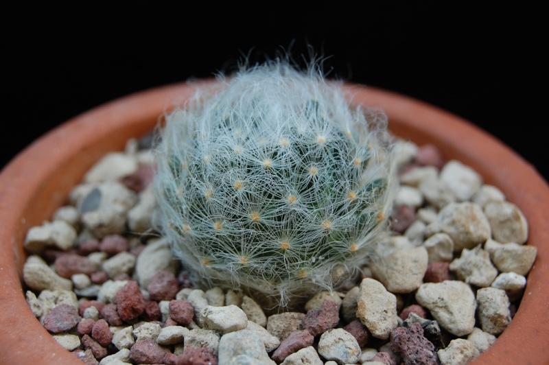 Mammillaria aureilanata      4360-211