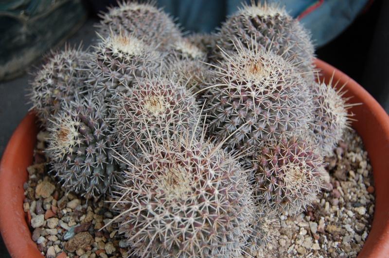 Mammillaria voburnensis 5001-210