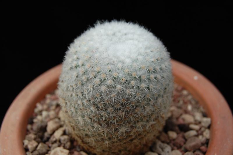 1 Mammillaria 5023-211