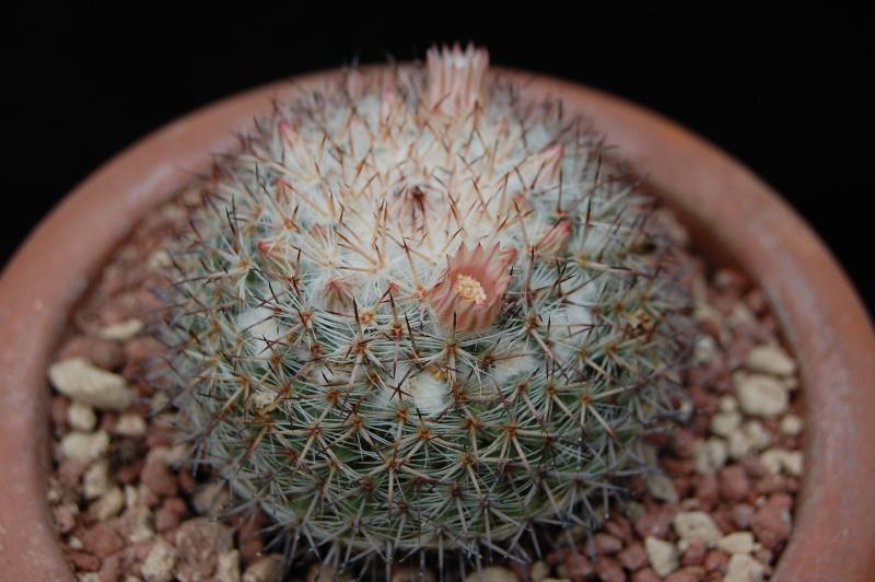 Mammillaria caerulea 5084-210