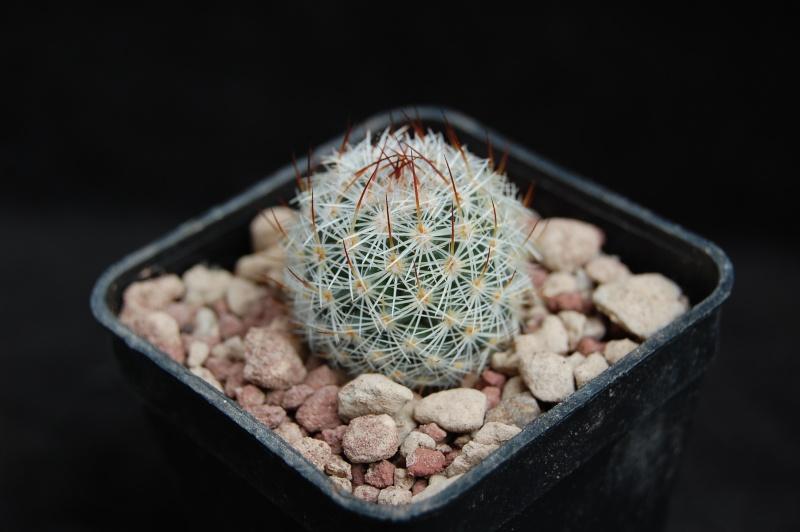 Mammillaria haageana 5132-210