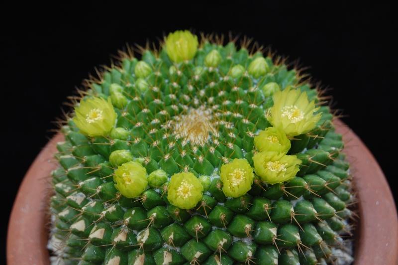 Mammillaria marksiana 68-20110