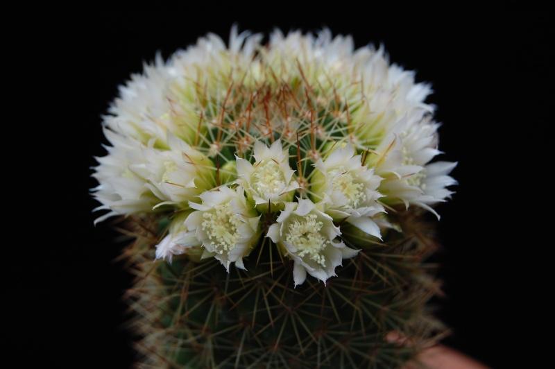 Mammillaria backebergiana 746-2011