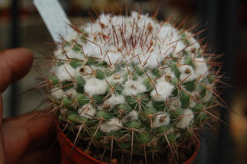 Mammillaria floresii Affini10